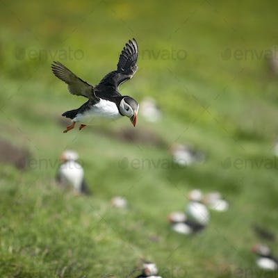 Atlantic Puffin or Common Puffin, Fratercula arctica, in flight on Mykines, Faroe Islands