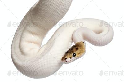 Female Pied Spider Royal python