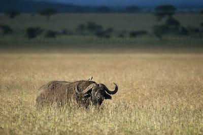 Buffalo at the Serengeti National Park, Tanzania, Africa