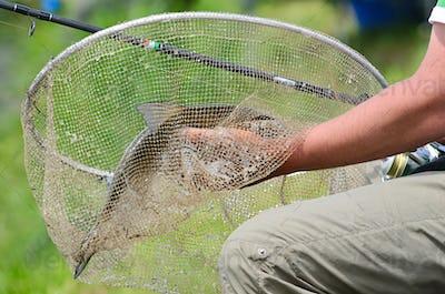 Big bream in net