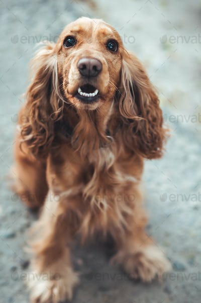 dog English Cocker Spaniel