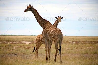 Giraffes in Etosha