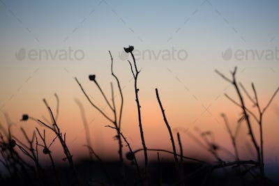 Close up of a greek plant at sunset