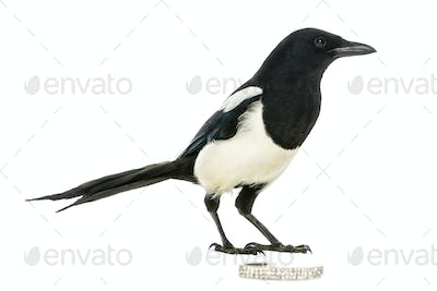 Side view of a Common Magpie with a jewellery, Pica pica, isolated on white