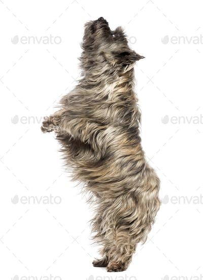 Side view of a Cairn Terrier upright, looking up, isolated on white