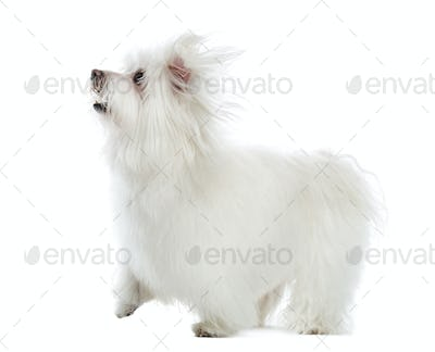 Side view of a Maltese looking up, isolated on white