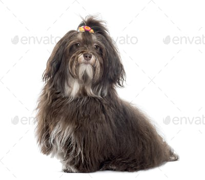 Havanese looking at the camera, isolated on white