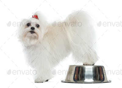 Maltese looking at the camera, rear legs on a bowl, isolated on white