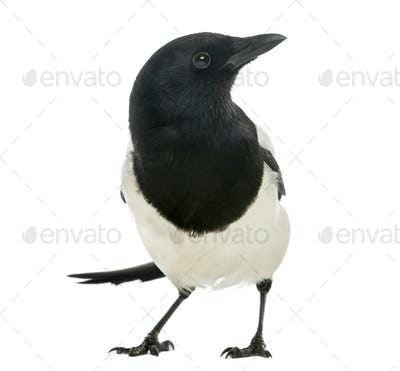 Common Magpie facing, looking away, Pica pica, isolated on white