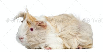 Side view of Peruvian Guinea Pig, isolated on white