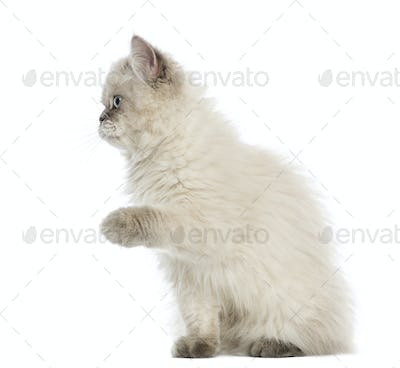 British Longhair kitten pawing up, 5 months old, isolated on white