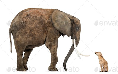 African elephant and Chihuahua looking at each other, isolated on white