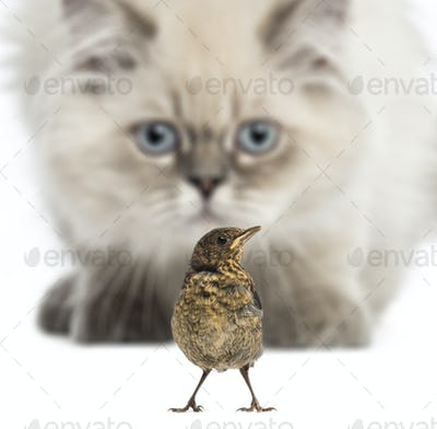 Close-up of a British Longhair kitten prowling on a bird, isolated on white