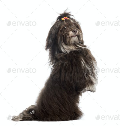 Side view of a Havanese upright, looking at the camera, isolated on white