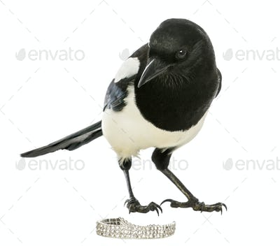 Curious Common Magpie looking at the camera with jewellery, Pica pica, isolated on white
