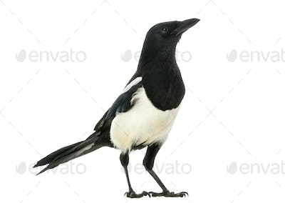 Side view of a Common Magpie looking up, Pica pica, isolated on white