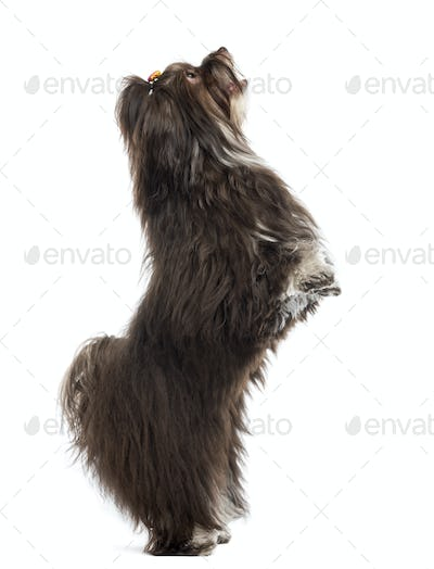 Havanese standing vertical, isolated on white