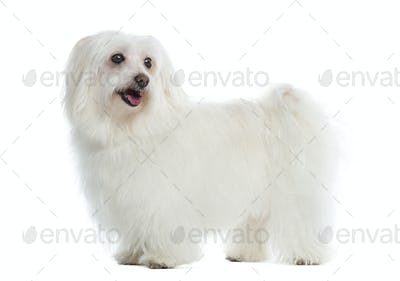 Side view of a Maltese standing, panting, isolated on white