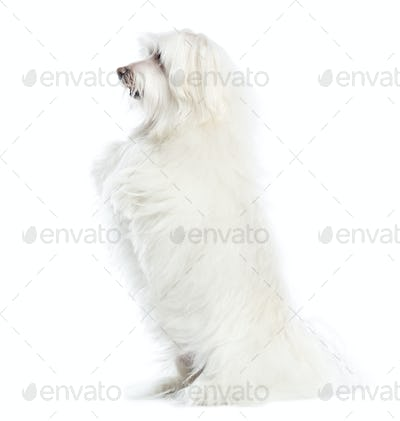 Side view of a Maltese upright, isolated on white