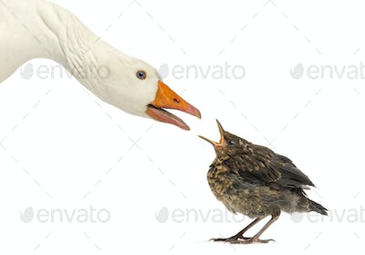 Side view of a Domestic goose and a Common Blackbird facing each other, communicating