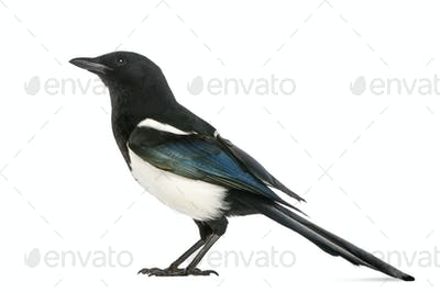 Side view of a Common Magpie, Pica pica, isolated on white