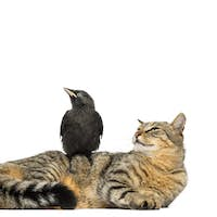 Domestic goose looking down at a cat and Jackdaw, isolated on white