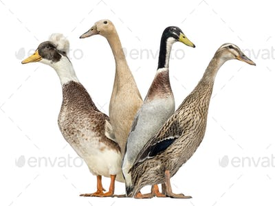 Side view of a Group of Ducks looking left and right, isolated on white
