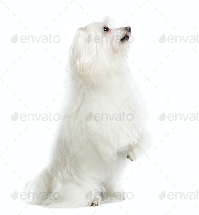 Maltese upright, isolated on white