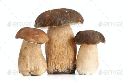 Boletus mushroom
