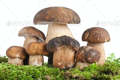 Boletus mushroom with moss