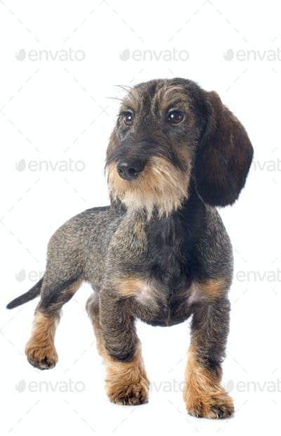 puppy Wire haired dachshund