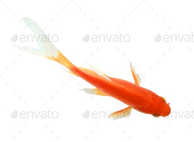 closeup of a goldfish isolated