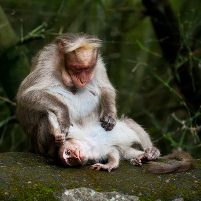 Mother macaque monkey cleaning her baby in bamboo forest. South