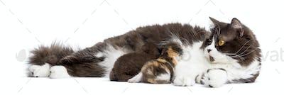British Longhair lying, feeding its kittens, isolated on white