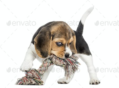 Front view of a Beagle puppy biting a rope toy, isolated on white