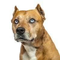 Close-up of an American Staffordshire Terrier, looking up, isolated on white