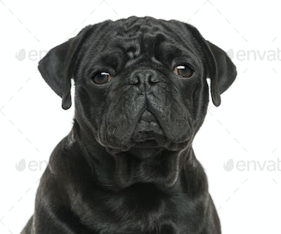 Close-up of a Pug looking sad, isolated on white