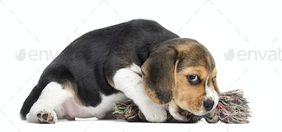 Beagle puppy playing with a rope toy, isolated on white