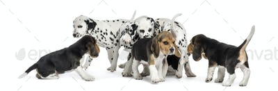 Group of Dalmatian and Beagle puppies eating all together, isolated on white