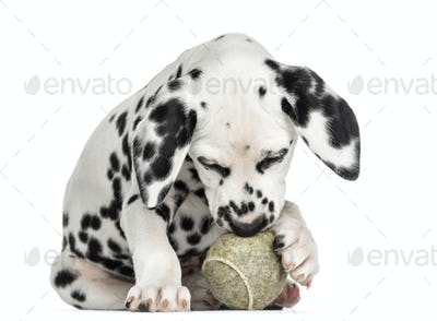 Front view of a Dalmatian puppy playing with a tennis ball, isolated on white