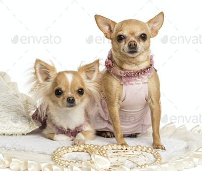 Two dressed-up Chihuahuas sitting on a carpet, isolated on white
