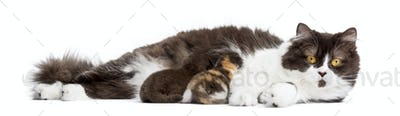 British Longhair lying, breastfeeding its kittens, isolated on white