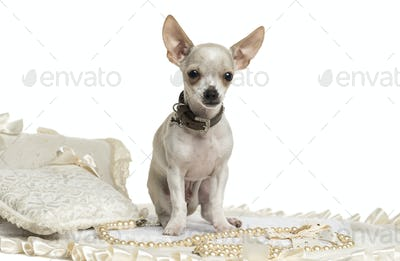 Chihuahua wearing a collar sitting, isolated on white