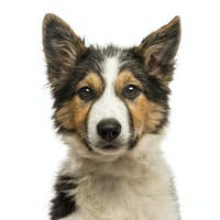 Close-up of a Border collie facing, looking at the camera, isolated on white