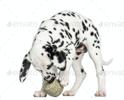 Dalmatian puppy playing with a tennis ball, isolated on white