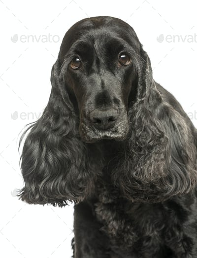 Close-up of an English Cocker Spaniel looking at the camera, isolated on white