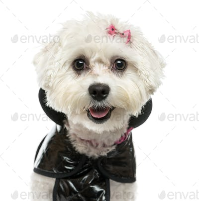Close-up of a dressed-up Maltese panting, isolated on white