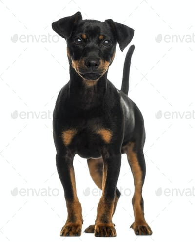 Pinscher standing, isolated on white