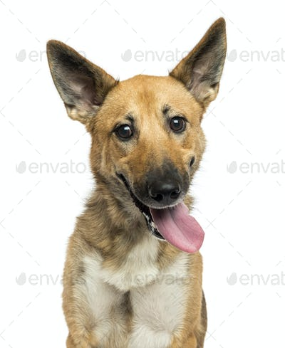Close-up of a Belgian shepherd dog panting, looking crazy, looking at the camera, isolated on white