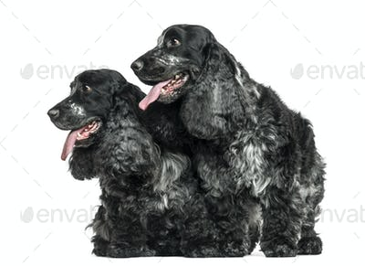 Two English Cocker Spaniel panting next to each other, isolated on white